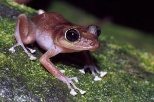 guajon_frog_tree